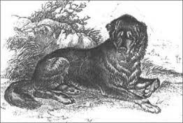 tibet dog