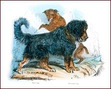 tibetan mastiff and wild dog